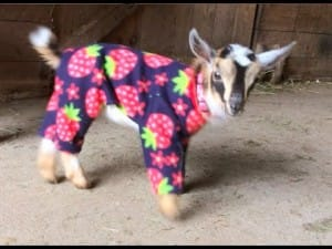 Pyjama für Ziegen